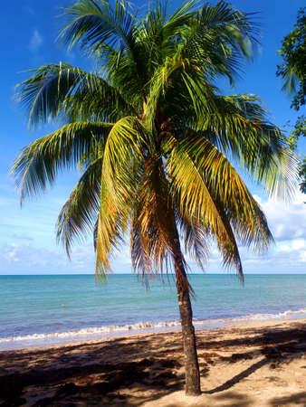 coconut palm on the beach