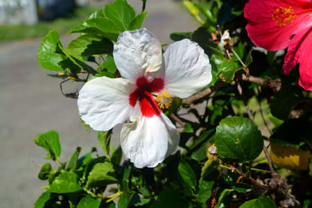 hibiscus white and red flower Stock Photo - 92761230