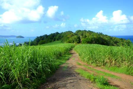 Field of sugar canes