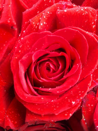 Red rose with drops of dew
