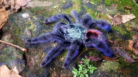 Mygale, Tarantula, black widow spider, bird-eating spider closeup photo Stock Photo
