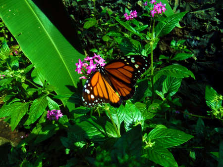 monarch butterfly, milkweed, common tiger, wanderer, Stock Photo - 114579199