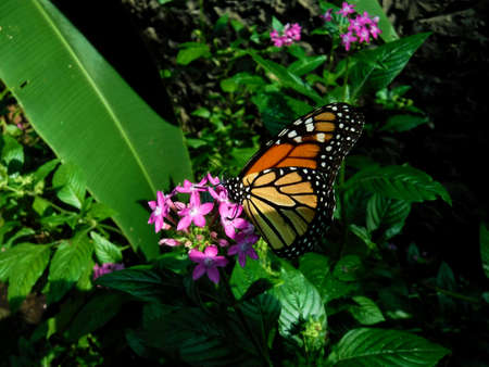 monarch butterfly Stock Photo - 114628754