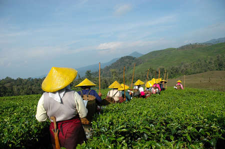 tea plantation Stock Photo - 3628351
