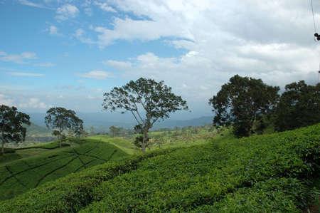 tea plantation Stock Photo - 3887931