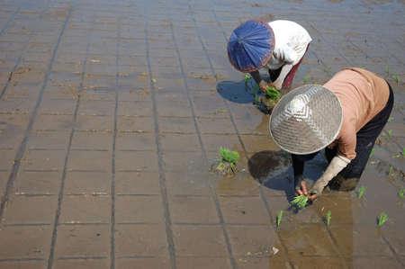 planting paddies photo