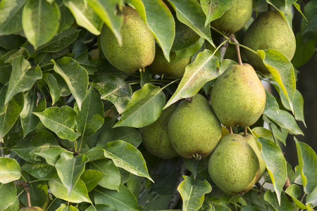 sidelight: Wild Pears Are Ripping On The Tree Inside Green Leaves at Morning Sunlight.