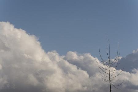 arbol alamo: Un solo árbol sin hojas de álamo en frente de nubes Foto de archivo