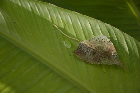 slump: Autumn Aspen Leaf on a Banana Green Leaf, beside of morning dew.