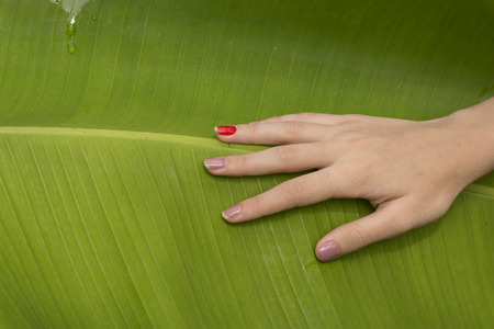 Touching Banana Tree Leaf  by Hand Stock Photo