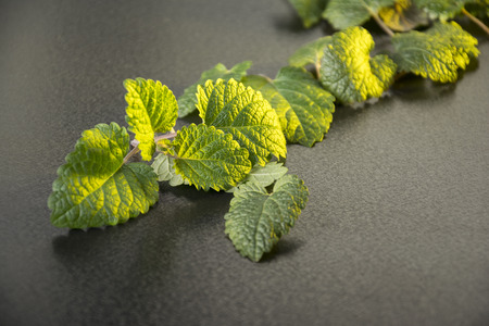 Closeup fresh mint on a table, golden light on leaves