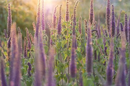 Close-up shot of vibrant purple flowers in full blooming at sunset Imagens