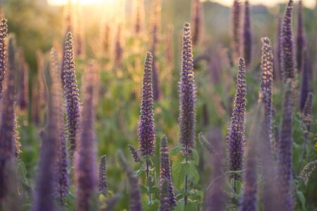 Close-up shot of vibrant purple herbs in full blooming in sunset Banco de Imagens