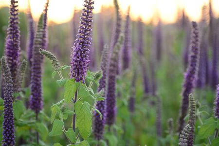 Close-up shot of vibrant purple herbs with green leaves  in full blooming at sunset
