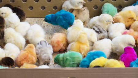 Group of newborn baby chicks brought for sale at bazaar in thick paper box