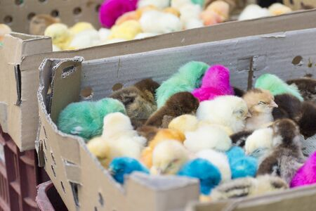 Group of newborn baby chicks in thick paper boxes