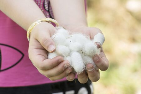 White silkworm cocoons shell on young girls hands, source of silk thread and silk fabric