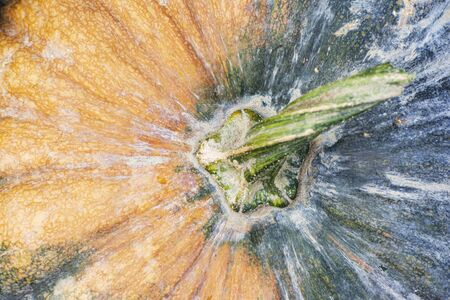Colorful texture of a ripen pumpkin, Halloween feast at autumn season- top viewpoint detail shot