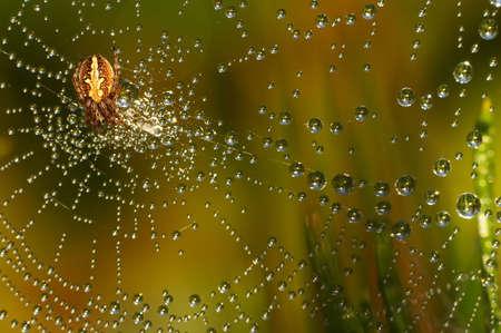 golden orb weaver: spider web