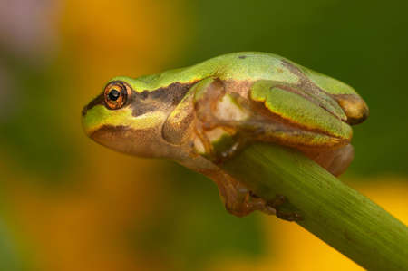 crawler: Closeup of beautiful green tree-frog