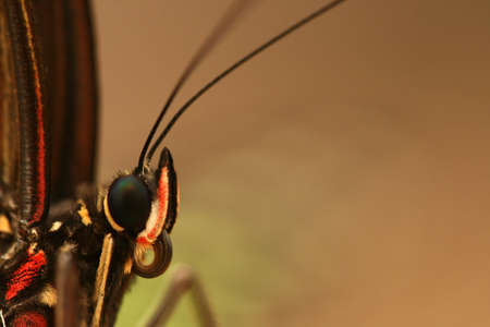 the antennae: Butterfly head with antennae Stock Photo