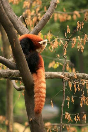 Sleeping red panda photo