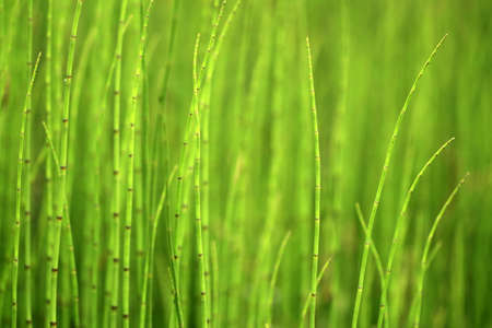 Green background of horsetails photo