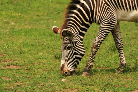 Zebra Stock Photo - 3562332
