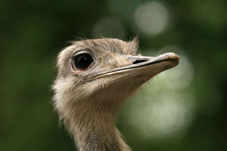 Closeup of ostrich head photo