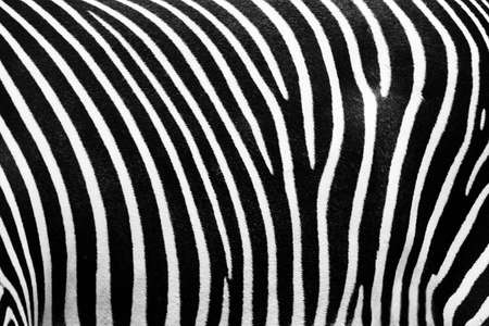Black and white texture of zebra skin Stock Photo - 3562296