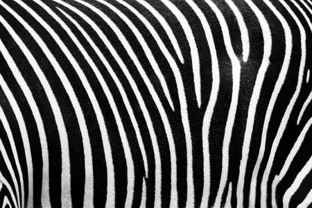 manteau de fourrure: En noir et blanc texture de la peau de z�bre Banque d'images