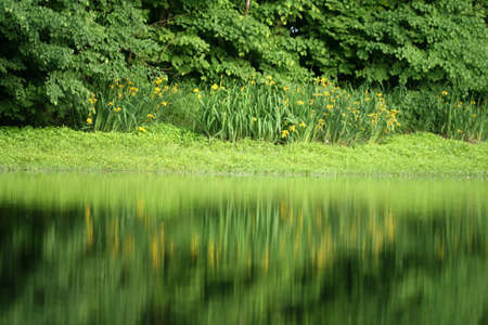 Yellow flowers reflecting in the water photo