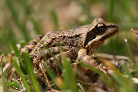 principe rana: Brown rana Rana temporaria en el césped Foto de archivo