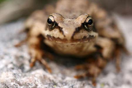principe rana: Brown rana Rana temporaria cara a cara