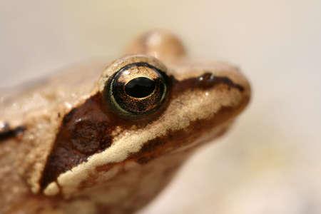 principe rana: De cerca de una rana Foto de archivo