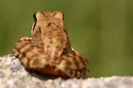 principe rana: Brown rana Rana temporaria dispuesta a saltar