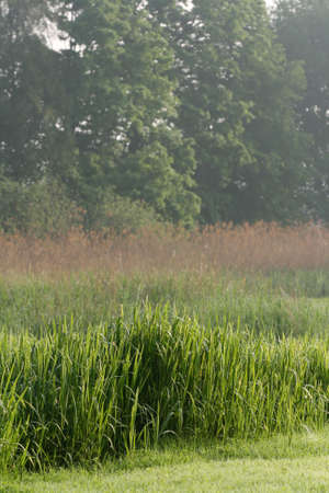 rushes: Background of reed with shallow depth of field Stock Photo