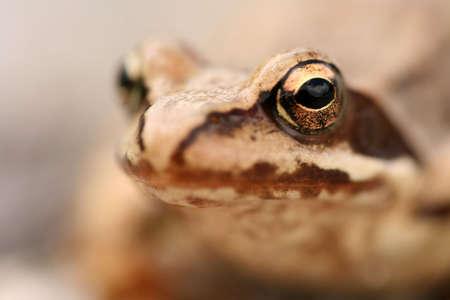 principe rana: De cerca de rana marrón Rana temporaria Foto de archivo