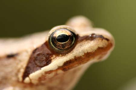 principe rana: Closeup de rana marrón Rana temporaria Foto de archivo