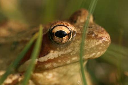 principe rana: Brown rana Rana temporaria; de cerca en la hierba