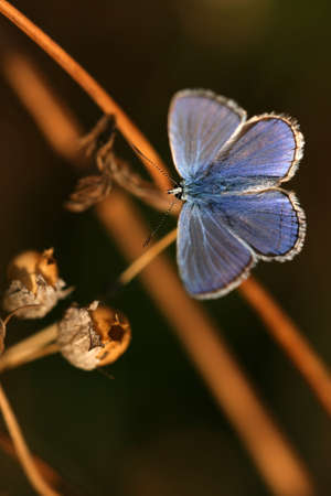 Common blue (Polyommatus icarus) - male photo