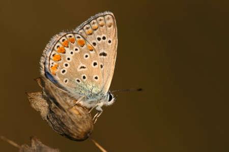 Common blue (Polyommatus icarus) - male Stock Photo - 3651219