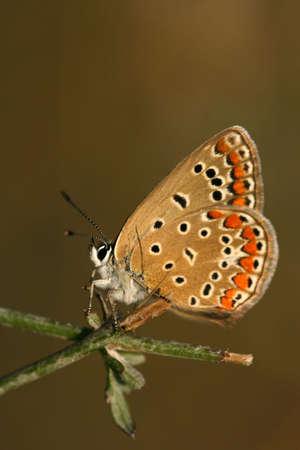 Common blue (Polyommatus icarus) - female photo
