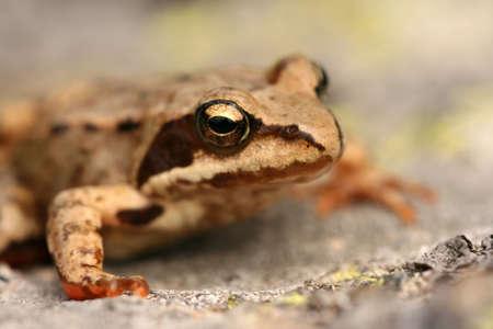 principe rana: Brown rana rana temporaria