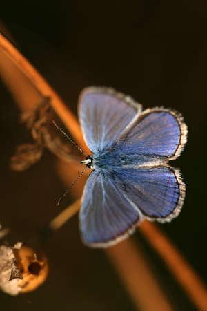 Common blue (Polyommatus icarus) - male photo