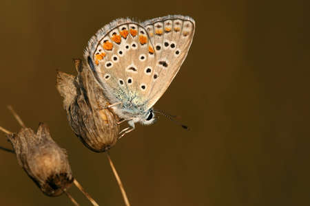 Common blue (Polyommatus icarus) - male Stock Photo - 3705617