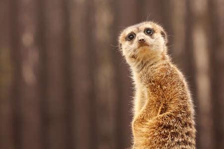 The meerkat (Suricata suricatta) photo