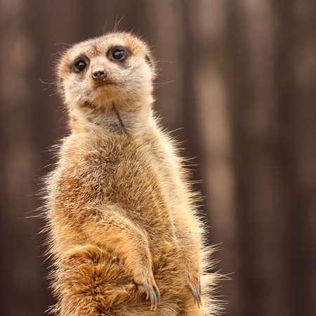 The meerkat (Suricata suricatta) Stock Photo