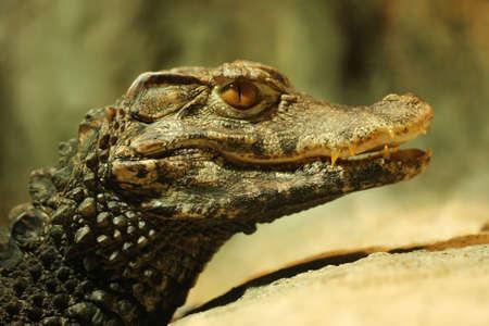 jawbone: Closeup of crocodile