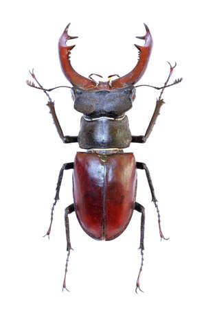cervus: Isolated stag-beetle (Lucanus cervus) Stock Photo